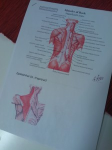Kuvassa selän lihaksia